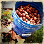 Walnut Harvest 2012 - 6